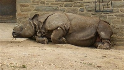 The left side of a Rhinoceros that is laying on a dirt path against a brick wall