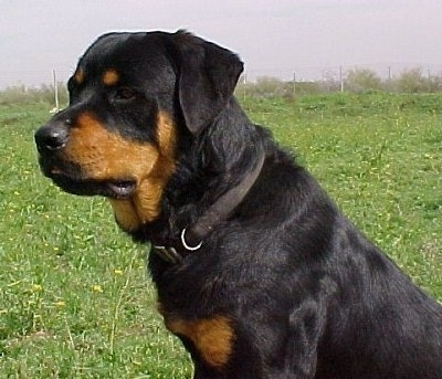 The left side of a black and tan Roman Rottweiler that is sitting in grass and it is looking to the left.