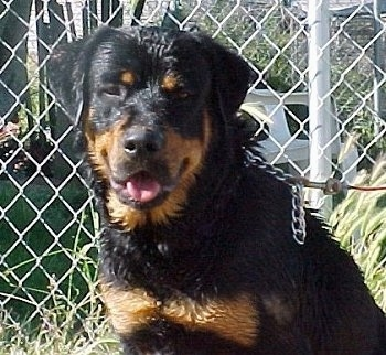Close up - A wet black and tan Roman Rottweiler is sitting in front of a chain link fence. Its mouth is open, its tongue is out and it looks like it is smiling.