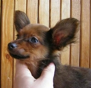 Close up - A black and tan Russian Toy Terrier puppy is standing in front of a wood panel wall. There is a person with there hand on the neck of the puppy. The puppy has large bat ears.