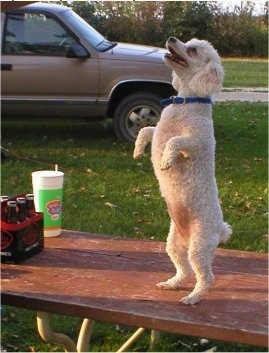 A white with tan Miniature Poodle is standing on its hind legs on a wooden picnic table in a park. Next to it is a really large drink cup and also a six pack of Mikes Hard Lemonade. There is a tan truck parked behind the dog.