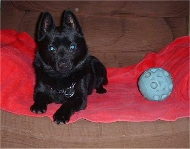Front view - A small black Schipperke is laying on a red towel that is laid across a recliner. There is a blue ball next to the dog.