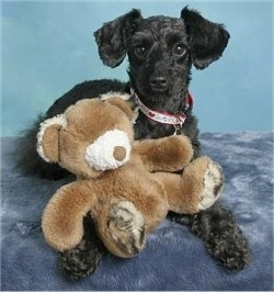 A shaved black Schnoodle is laying on a stand with a brown teddy bear in its front paws and it is looking forward.