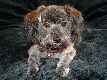 Close up front view - A grey and brown Schnoodle dog is laying on a pillow and it is looking forward. Its body is gray and it has brown on its ears.