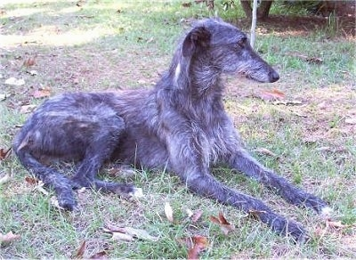 Side view - The right side of a wiry looking black with gray and white Scottish Deerhound that is laying across grass and it is looking to the right.