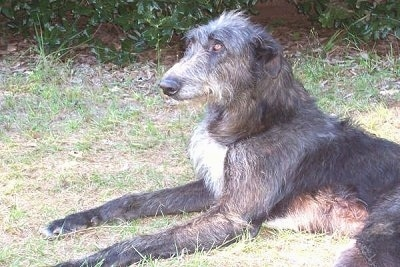 The left side of a wiry looking black with white Scottish Deerhound that is laying in grass and looking forward.