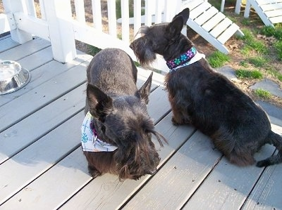 Two Scottish Terriers are sitting and standing on a wooden deck facing different directions and they are both wearing bandanas. There is white lawn furniture in the yard, a white railing around the deck and a silver water bowl next to them.