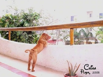 The right side of a wrinkly tan Chinese Shar-Pei puppy that is jumped up against the railing of a porch looking over the edge.