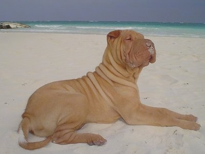 The right side of a wrinkly tan Chinese Shar-Pei puppy that is laying across a beach, it is looking up and to the right. It has sand all over its muzzle. The dog has a big head and small v-shaped ears.