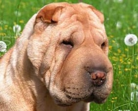 Close up head shot - A tan Chinese Shar-Pei is sitting outside in grass and it is looking down and to the right. It has a lot of wrinkles, a big head, a large muzzle, small squinty eyes and tiny ears.