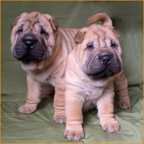Two puppies on a green couch - A tan wrinkly Chinese Shar-Pei puppy is sitting down and standing over top of its back is another tan wrinkly Shar-Pei. They both are looking forward. The puppies have a lot of thick extra skin and big black noses.