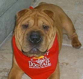 Front view - A tan wrinkly faced Chinese Shar-Pei dog with a very big head is wearing a red bandana with the words - Dog Cafe - on it. It is looking up and forward. The dog has small brown eyes small, v-shaped ears and a big black nose with a wide square muzzle.