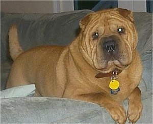 A thick bodied, tan wrinkly face Shar-Pei dog with a big head and small ears is laying over the edge of a gray couch looking forward and its head is slightly tilted to the left. It has a thick tail and dewlaps that hang down to the sides with a big black nose.