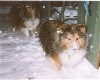 Shetland Sheepdogs - Shelties