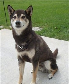 Front side view - A black with white and tan Shiba Inu is sitting on a concrete porch and it is looking forward.
