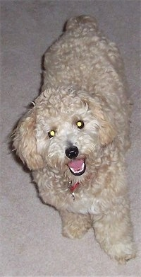 Top down view of a thick, curly coated, tan with white Shih-Poo that is standing on a carpet. It is looking up, its head is slightly tilted to the left, its mouth is open and it looks like it is smiling. It has wide round eyes and a black nose.