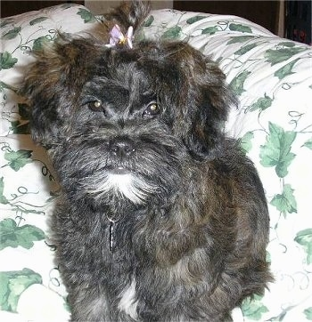 Close up - A black with white Shih-Poo puppy is sitting on a blanket, it is looking forward and it has a purple bow in its hair. Its face looks like a monkey.