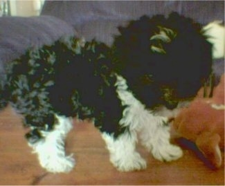 Panda the Shih-Poo when he was 10 weeks old