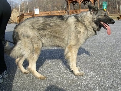 The right side of a thick-coated, black and grey with tan Shiloh Shepherd that is standing across a blacktop surface, it is looking to the right, its mouth is open and its tongue is sticking out.