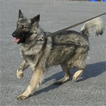Action shot - The front left side of a black and grey with tan Shiloh Shepherd dog that is trotting across a blacktop surface, its front right paw is in the air, its mouth is open and its tongue is sticking out.