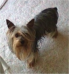 Top down view of a long haired, black and tan Silky Terrier that is standing across a carpeted surface and it is looking up. The dog has a long beard hanging from its chin.