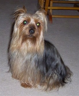 A long coated, black and tan Silky Terrier dog sitting across a carpeted surface and it is looking forward. The fur on the dog is long and goes all the way to the floor. It has wide round eyes and a black nose and black lips.