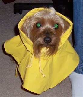 Close up - A black and tan Silky Terrier dog is sitting on a carpet, it is wearing a yellow rain coat and it is looking up.