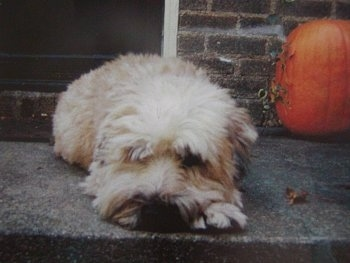 A tan Soft Coated Wheaten Terrier is laying down at the top of a stone step staircase in front of a brick house and there is a pumpkin behind it. The hair on the dog's face is covering up its eyes.