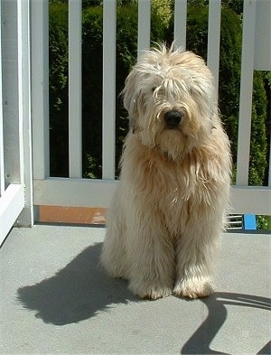 A brown long haired, Soft Coated Wheaten Terrier is sitting on a porch and it is looking forward.