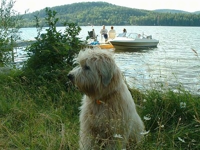 A tan Soft Coated Wheaten Terrier dog is sitting in tall grass on a bank next to water. Behind it is a small group of people sitting on a dock and there is a boat next to them.