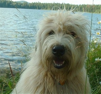 Close up head shot - A tan Soft Coated Wheaten Terrier dog is sitting in an tall grass, it is looking forward, its mouth is open and it looks like it is smiling. There is a body of water behind it. It has a big black nose and long blonde hair.
