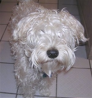 Close up - A white Soft Coated Wheaten Terrier is standing on a tiled surface, it is looking forward and its head is up.