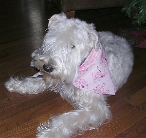 A longhaired, white Soft Coated Wheaten Terrier dog laying across a hardwood floor looking forward and it is wearing a pink bandana. It has longer hair on the top of its muzzle.