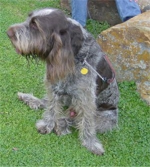 Spinone Italiano (Italian Wire-haired Pointing Dog)