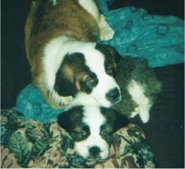 Two Saint Bernard Puppies are laying on top of each other on a couch.