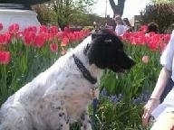 Right Profile - A black and white Stabyhoun is sitting in front of a line of hot pink tulip flowers and it is looking at the person in front of it.