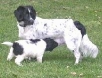The left side of a white with black Stabyhoun dog that is standing across a field and looking to the right. Under it is a white with black Stabyhoun puppy nursing from its mother.