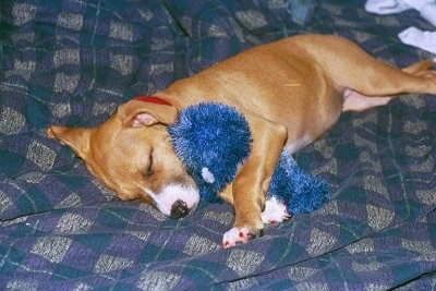 A shiny golden-brown with white Staffordshire Bull Terrier puppy is laying on its right side across a bed. It has a blue plush doll in between its front paws.