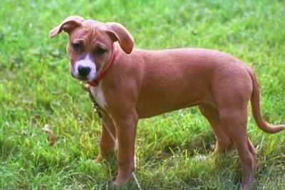 The right side of a brown with white Staffordshire Bull Terrier puppy is standing across a grass surface, it is looking forward and its head is slightly tilted to the right.