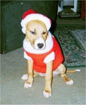 A brown with white Staffordshire Bull Terrier puppy is sitting on a carpet, it is looking down and to the right. It is wearing a Santas Hat and jacket.