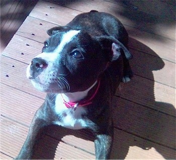 Top down view of a small black with white Staffordshire Bull Terrier puppy laying on a hardwood surface looking up and to the left. The dog is wearing a hot pink collar.