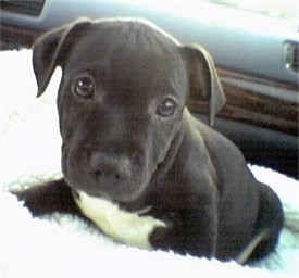 Close up - A little black with white Staffordshire Bull Terrier puppy is sitting on a fluffy surface in the passenger side of a vehicle and it is looking forward.