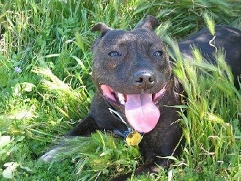 Close up - A big headed, large, muscular black brindle  with white Staffordshire Bull Terrier is laying across a grass surface, it is looking forward, it is panting and it looks like it is smiling. The dog has a wide tongue.