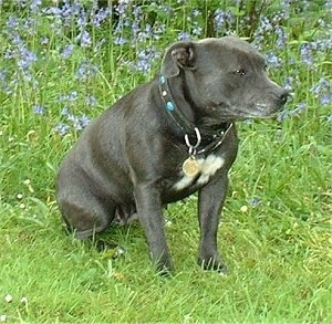 The front left side of a black with white Staffordshire Bull Terrier that is sitting in a field and it is looking to the right.