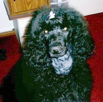 Rodeo, the Standard Poodle at 5 months old before her first full haircut.
