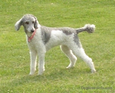 The left side of a bicolor, gray and white, Standard Poodle dog that is standing across a grassy field looking to the right.