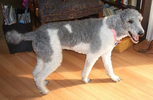 The right side of a gray and white bicolor Standard Poodle dog standing on a hardwood floor. It is looking to the right, but its head is turned forward. Its mouth is open and it looks like it is smiling.