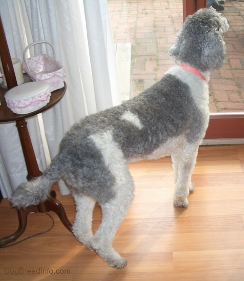 A curly-coated, gray and white dog standing on a hardwood floor looking out of a glass door to a brick patio.