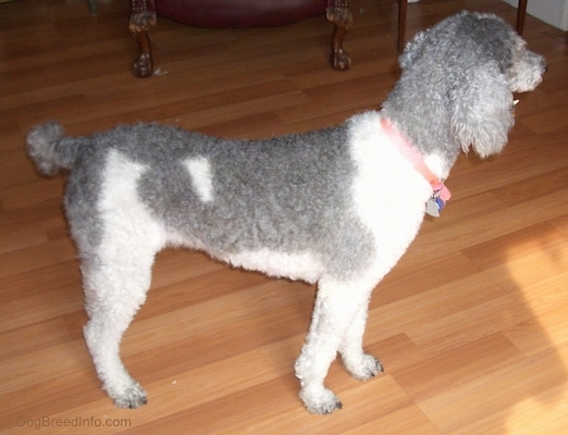 The right side of a bicolor, gray and white, Standard Poodle dog standing on a hardwood floor looking to the right.