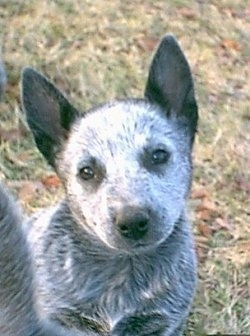 Close up - A white with gray and black Australian Stumpy Tail Cattle Dog puppy is sitting outside in grass, it is looking forward and its head is slightly tilted to the left. Its nose adn eyes are black.